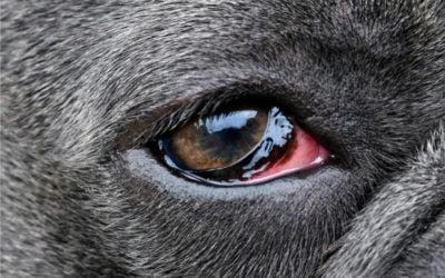Ômega-3 em Cães com Ceratoconjuntivite Seca