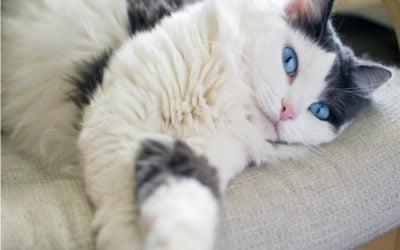Uso de Condroprotetores em Gatos