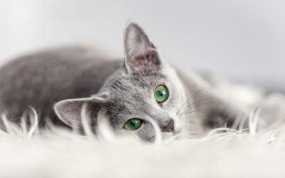 Uso de Gabapentina em Felinos