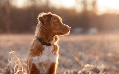 Tratamento do Hiperadrenocorticismo em Cães