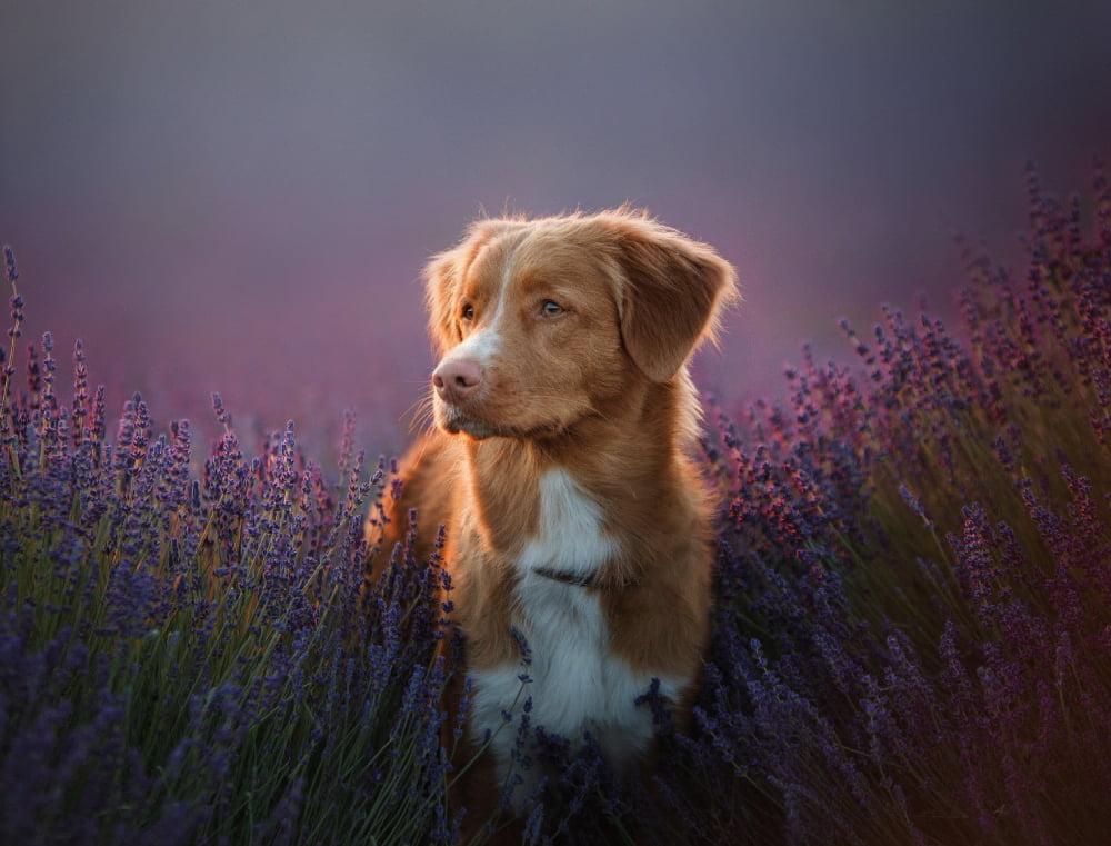 Uso de Floral de Bach em Cães