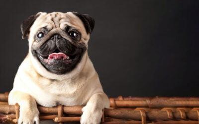 Colite em Cães