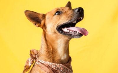 Dermatite Atópica Canina (DAC)